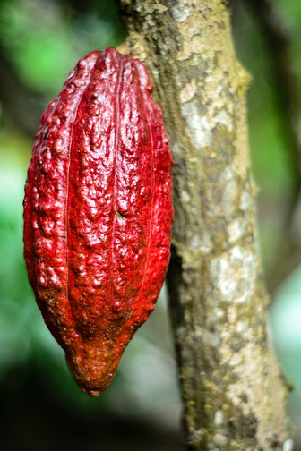 cocoa pod hanging from a cacao tree